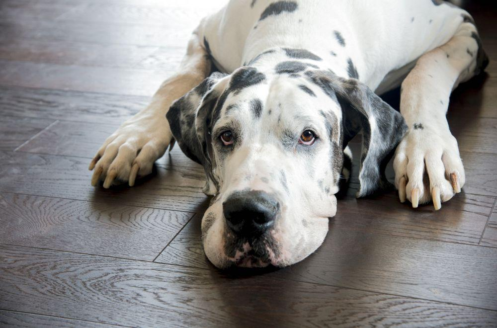 Augen Reinigen Dogge
