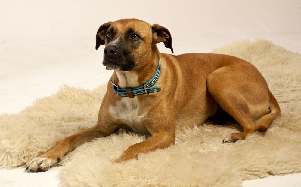 Dogge Boxer Mischling: Boxane