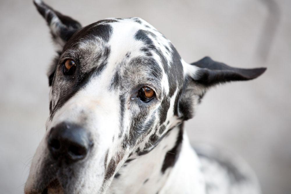 Dogge Charakter und Wesen