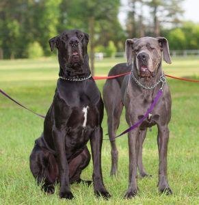 Unteschied Wesen von Dogge Rüde oder Dogge Hündin
