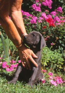 Dogge Züchter Welpen