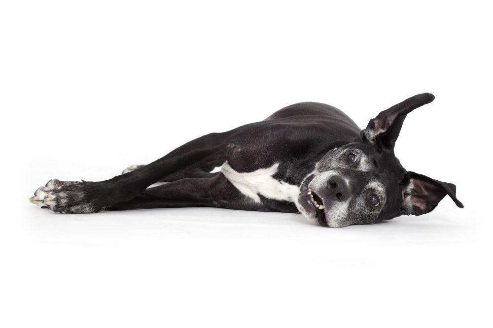 Sind Dogge Mischlinge gesünder?