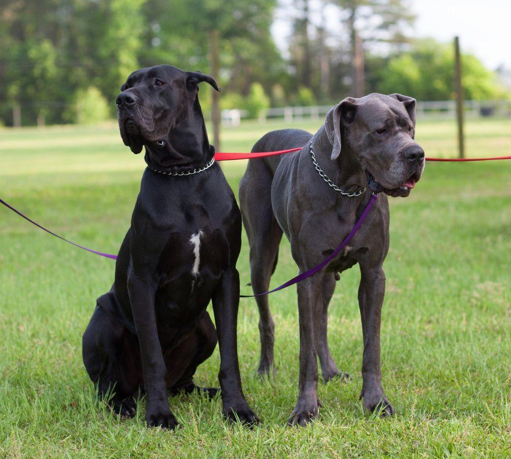 Die Pflege der Dogge ist wegen dem kurzen Fell einfach!