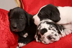 Gesunde Doggen Welpen vom Züchter