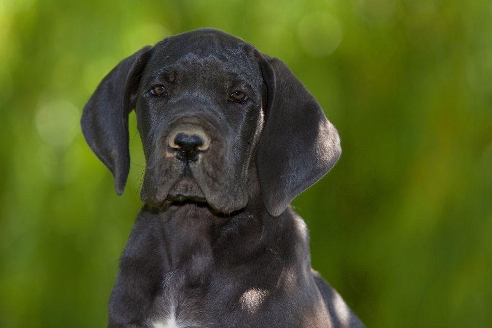 Dogge Welpen
