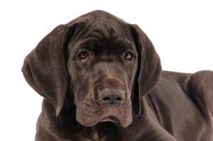 Labrador Doge Mix, Mischling