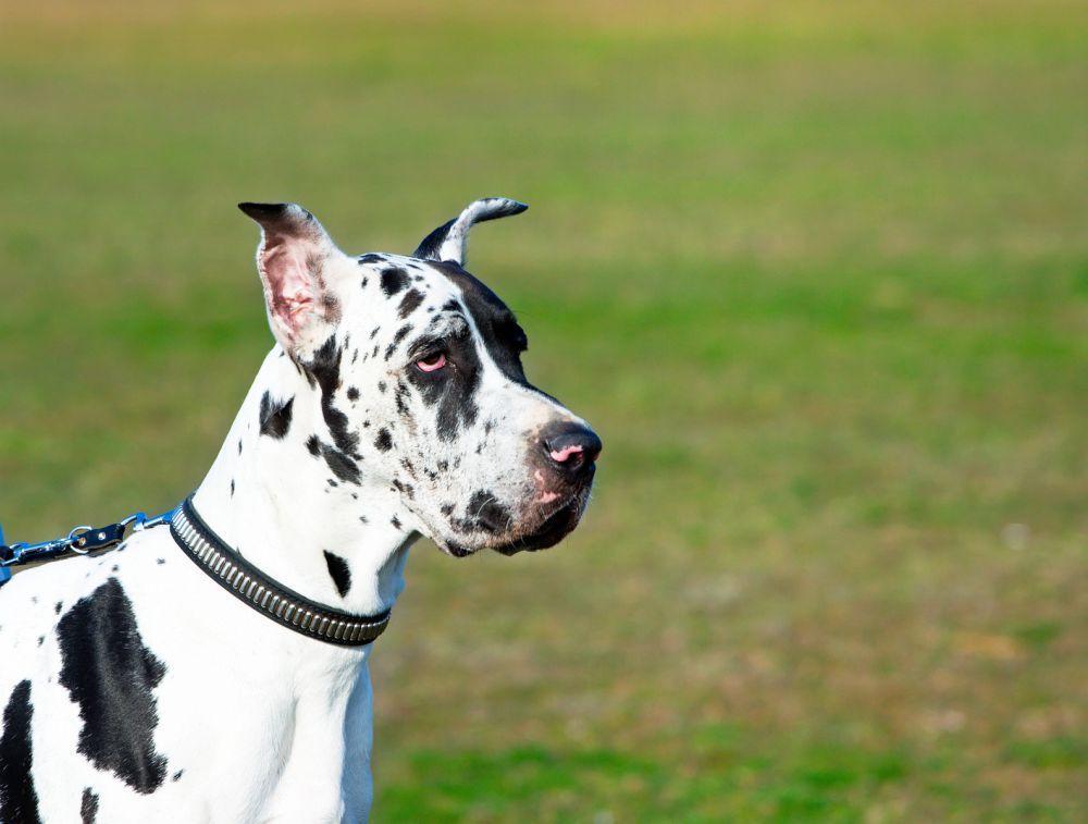 Was tun, wenn die Dogge Durchfall hat? In den meisten Fällen ist Durchfall kein Grund, in Panik zu verfallen. Oft gibt sich der Durchfall ganz von selbst.