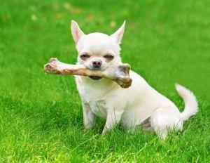 Chihuahua Lebensdauer