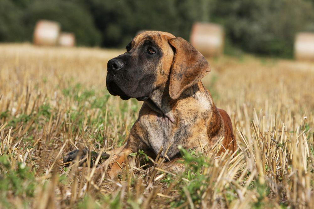 Dogge Lebenserwartung
