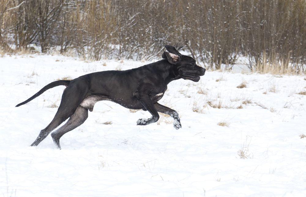 Auch im Winter kann die Dogge prima draußen beschäftigt werden!