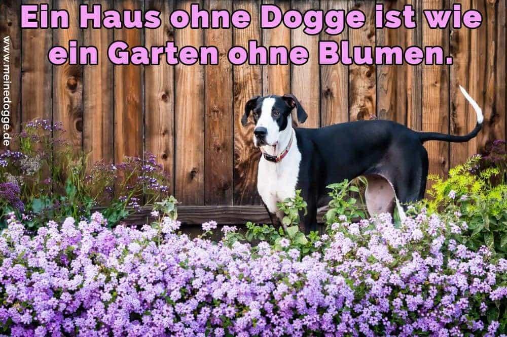 Eine Dogge im Garten