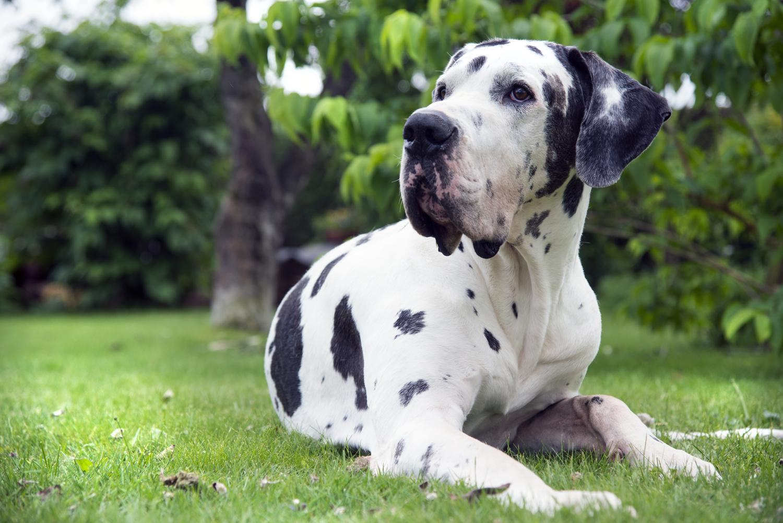 Macht es Sinn meine Dogge zu BARFen?